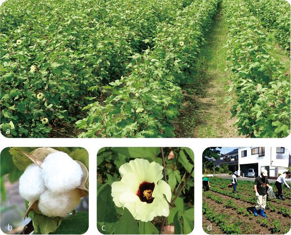 伯州綿の栽培行程写真
