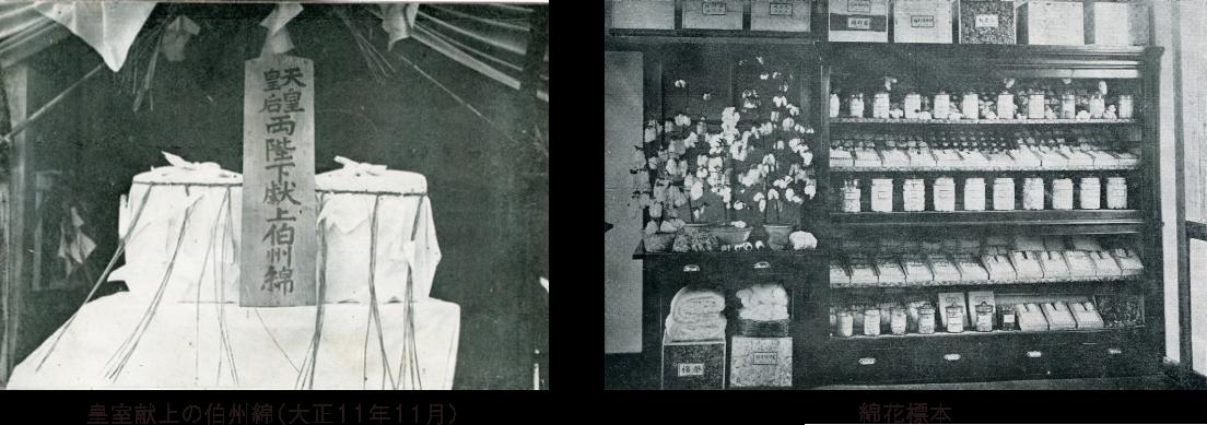 伯州綿の歴史 皇室献上の伯州綿(大将11年11月) 綿花標本